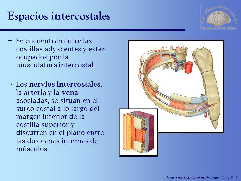 Departamento de Anatomía Humana, U. A. N. L. Espacios intercostales Se encuentran entre las costillas adyacentes y están ocupados por la musculatura i