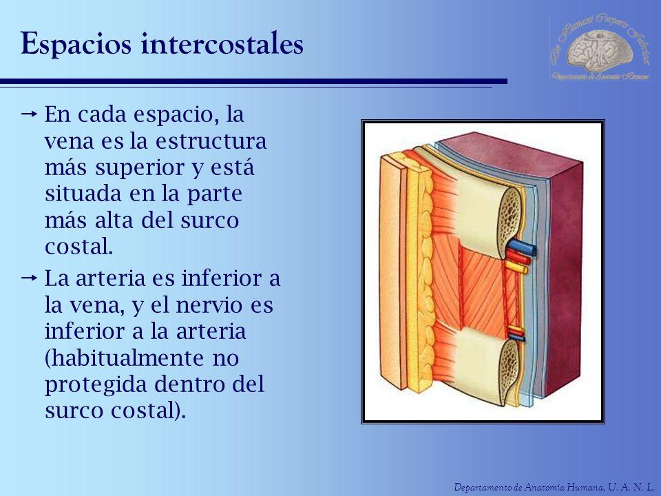 Departamento de Anatomía Humana, U. A. N. L. Espacios intercostales En cada espacio, la vena es la estructura más superior y está situada en la parte