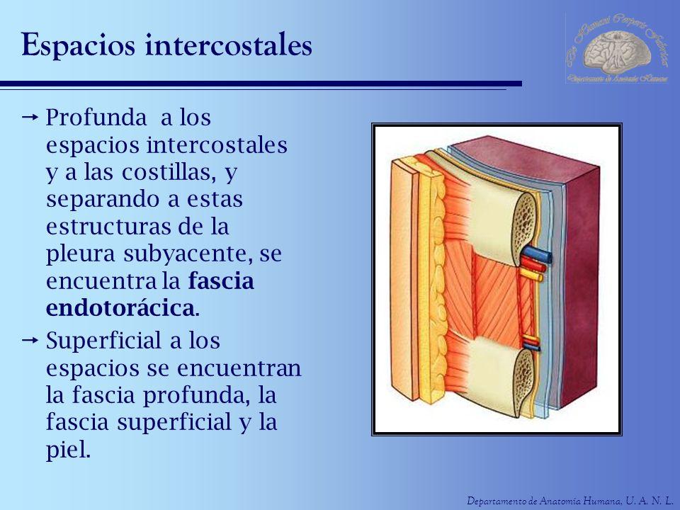 Departamento de Anatomía Humana, U. A. N. L. Espacios intercostales Profunda a los espacios intercostales y a las costillas, y separando a estas estru