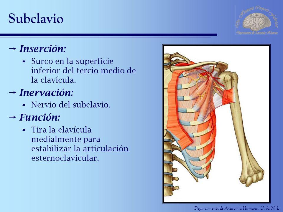 Departamento de Anatomía Humana, U. A. N. L. Subclavio Inserción: - Surco en la superficie inferior del tercio medio de la clavícula. Inervación: - Ne