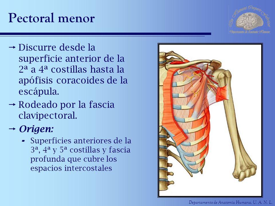 Departamento de Anatomía Humana, U. A. N. L. Pectoral menor Discurre desde la superficie anterior de la 2ª a 4ª costillas hasta la apófisis coracoides