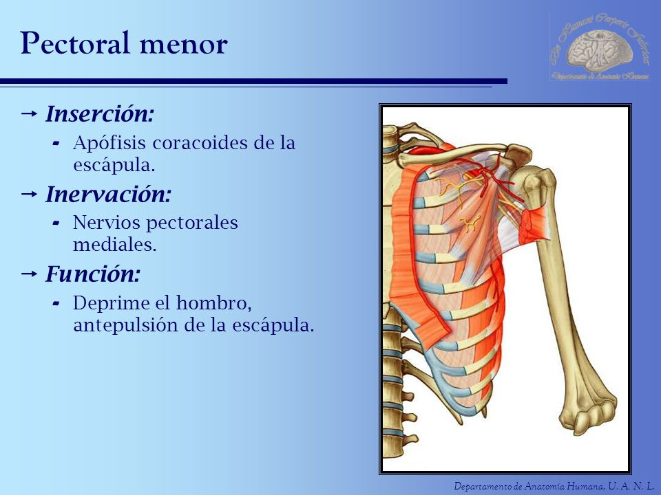 Departamento de Anatomía Humana, U. A. N. L. Pectoral menor Inserción: - Apófisis coracoides de la escápula. Inervación: - Nervios pectorales mediales