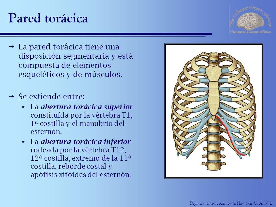 Departamento de Anatomía Humana, U. A. N. L. Pared torácica La pared torácica tiene una disposición segmentaria y está compuesta de elementos esquelét