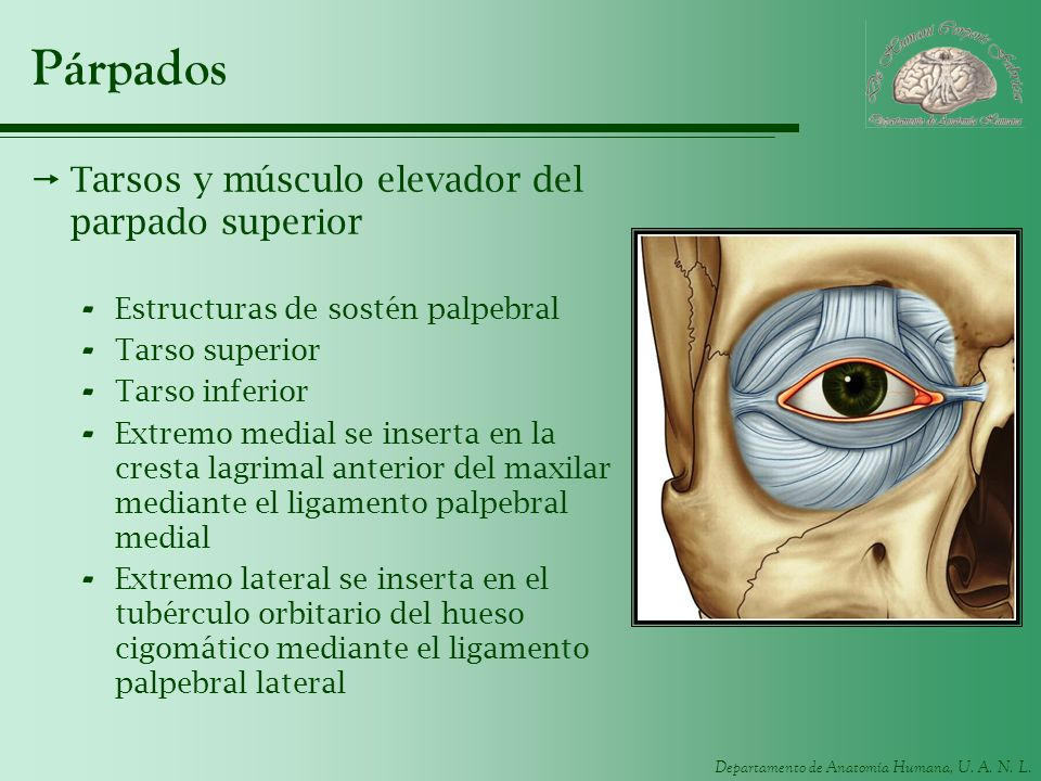 Departamento de Anatomía Humana, U. A. N. L. Párpados Tarsos y músculo elevador del parpado superior - Estructuras de sostén palpebral - Tarso superio
