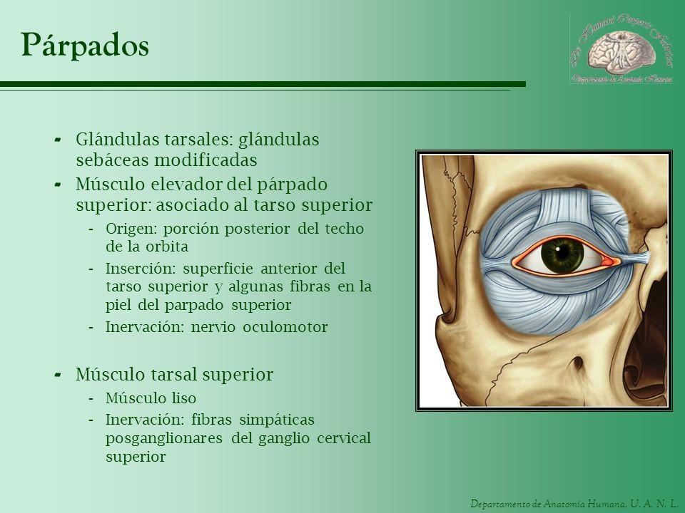 Departamento de Anatomía Humana, U. A. N. L. Párpados - Glándulas tarsales: glándulas sebáceas modificadas - Músculo elevador del párpado superior: as