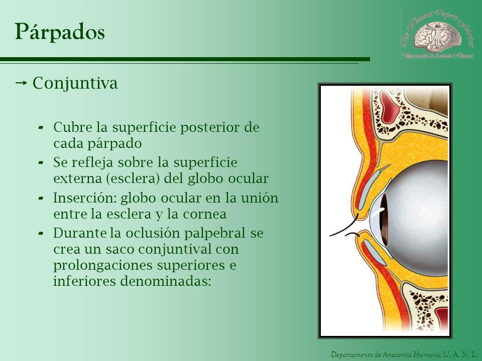 Departamento de Anatomía Humana, U. A. N. L. Párpados Conjuntiva - Cubre la superficie posterior de cada párpado - Se refleja sobre la superficie exte
