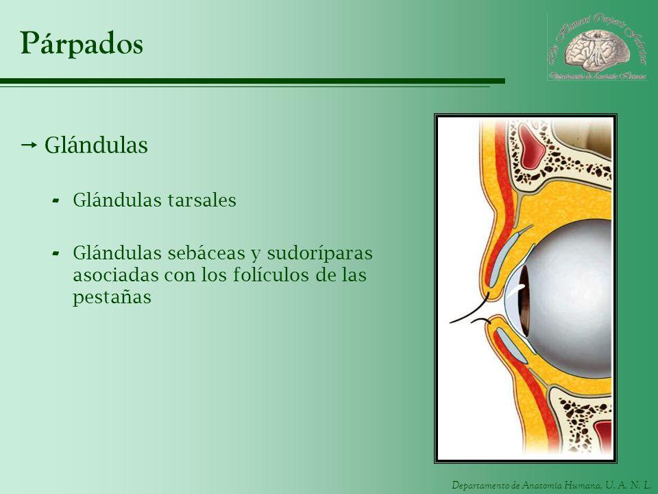Departamento de Anatomía Humana, U. A. N. L. Párpados Glándulas - Glándulas tarsales - Glándulas sebáceas y sudoríparas asociadas con los folículos de