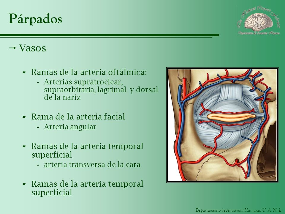 Departamento de Anatomía Humana, U. A. N. L. Párpados Vasos - Ramas de la arteria oftálmica: -Arterias supratroclear, supraorbitaria, lagrimal y dorsa