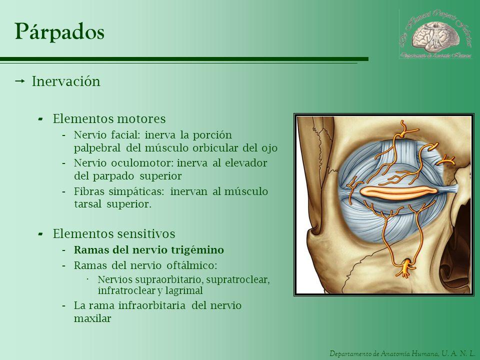 Departamento de Anatomía Humana, U. A. N. L. Párpados Inervación - Elementos motores -Nervio facial: inerva la porción palpebral del músculo orbicular