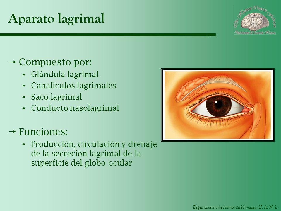 Departamento de Anatomía Humana, U. A. N. L. Aparato lagrimal Compuesto por: - Glándula lagrimal - Canalículos lagrimales - Saco lagrimal - Conducto n