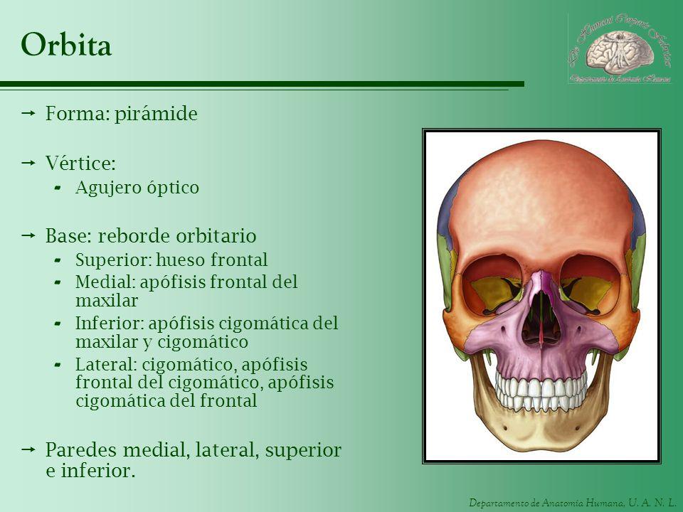 Departamento de Anatomía Humana, U. A. N. L. Orbita Forma: pirámide Vértice: - Agujero óptico Base: reborde orbitario - Superior: hueso frontal - Medi