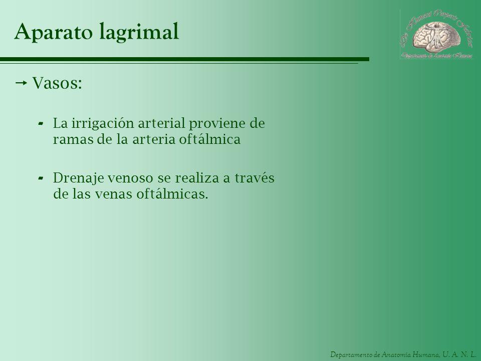Departamento de Anatomía Humana, U. A. N. L. Aparato lagrimal Vasos: - La irrigación arterial proviene de ramas de la arteria oftálmica - Drenaje veno