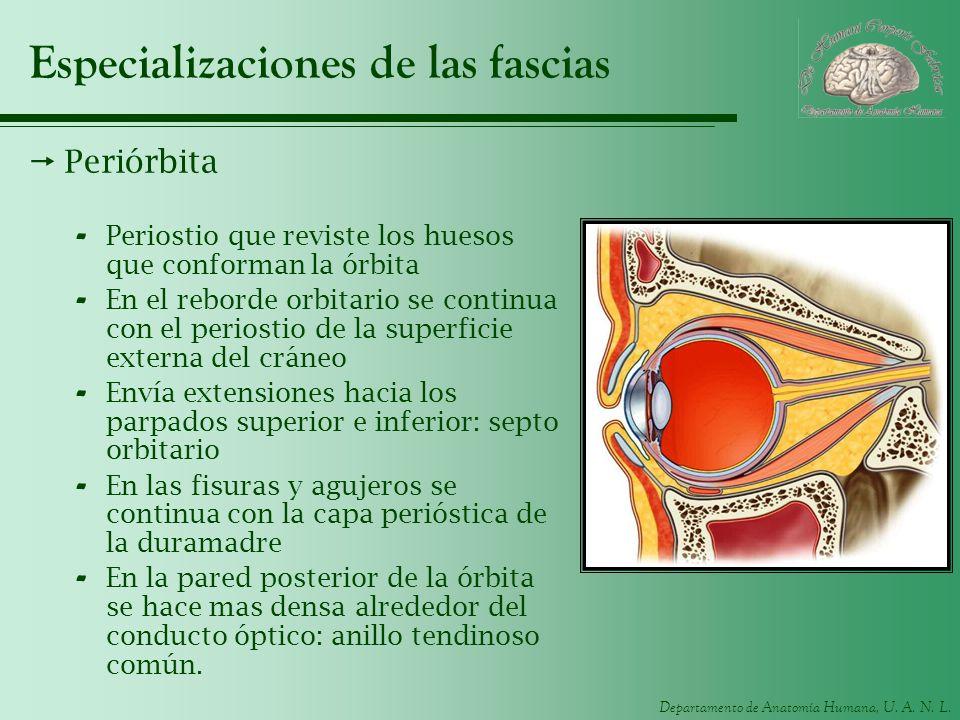 Departamento de Anatomía Humana, U. A. N. L. Especializaciones de las fascias Periórbita - Periostio que reviste los huesos que conforman la órbita -
