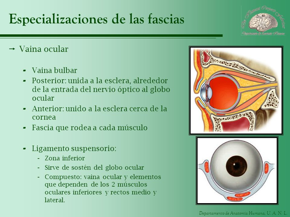 Departamento de Anatomía Humana, U. A. N. L. Especializaciones de las fascias Vaina ocular - Vaina bulbar - Posterior: unida a la esclera, alrededor d