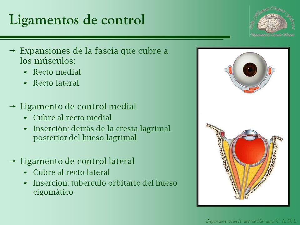 Departamento de Anatomía Humana, U. A. N. L. Ligamentos de control Expansiones de la fascia que cubre a los músculos: - Recto medial - Recto lateral L