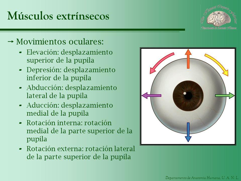 Departamento de Anatomía Humana, U. A. N. L. Músculos extrínsecos Movimientos oculares: - Elevación: desplazamiento superior de la pupila - Depresión: