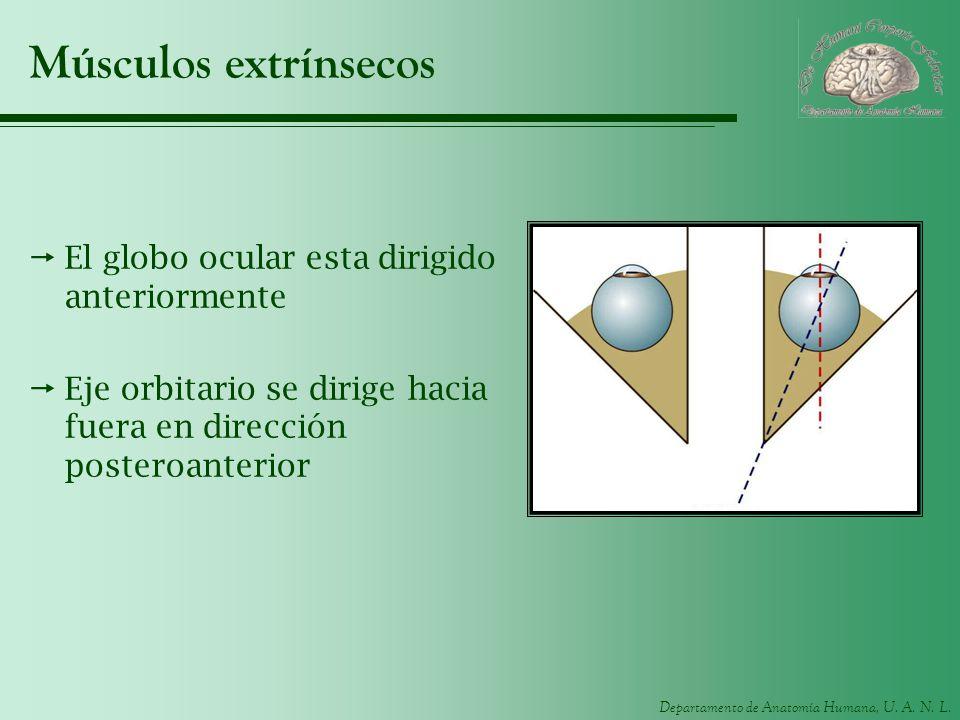Departamento de Anatomía Humana, U. A. N. L. Músculos extrínsecos El globo ocular esta dirigido anteriormente Eje orbitario se dirige hacia fuera en d