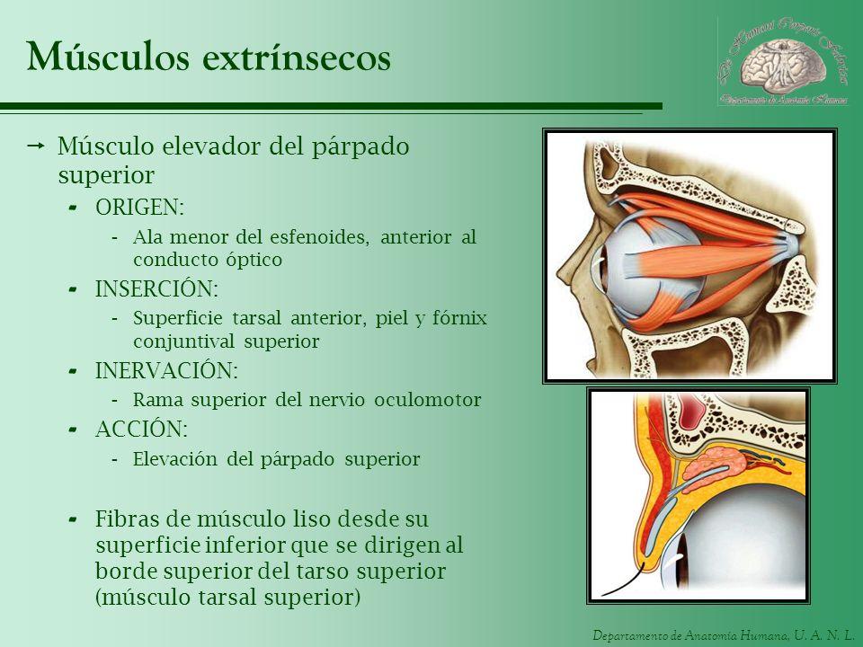 Departamento de Anatomía Humana, U. A. N. L. Músculos extrínsecos Músculo elevador del párpado superior - ORIGEN: -Ala menor del esfenoides, anterior