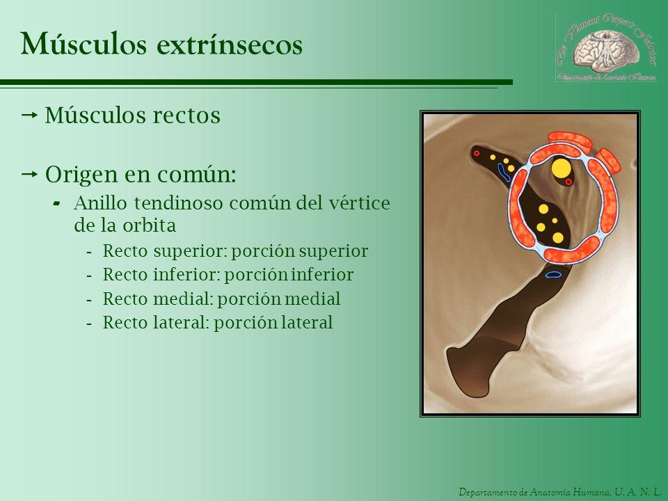Departamento de Anatomía Humana, U. A. N. L. Músculos extrínsecos Músculos rectos Origen en común: - Anillo tendinoso común del vértice de la orbita -