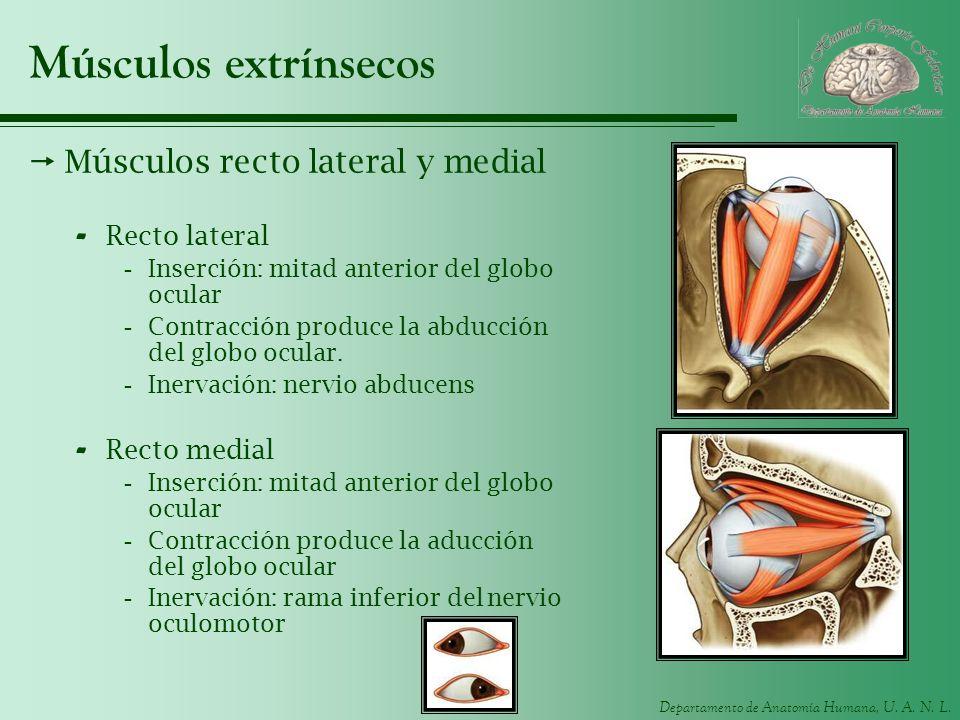 Departamento de Anatomía Humana, U. A. N. L. Músculos extrínsecos Músculos recto lateral y medial - Recto lateral -Inserción: mitad anterior del globo