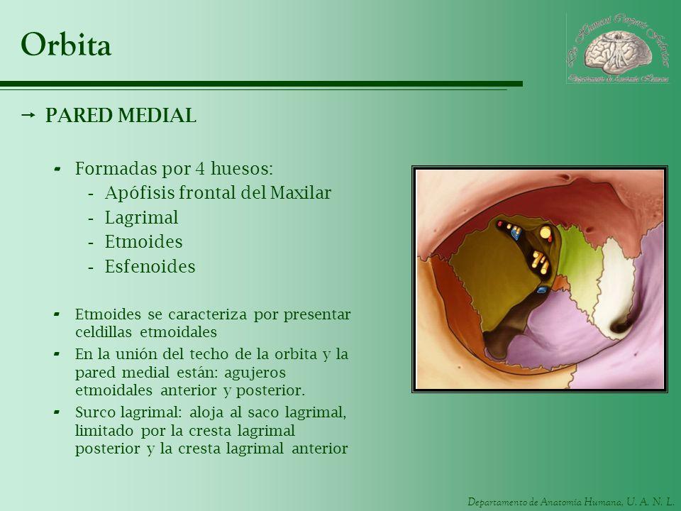 Departamento de Anatomía Humana, U. A. N. L. Orbita PARED MEDIAL - Formadas por 4 huesos: -Apófisis frontal del Maxilar -Lagrimal -Etmoides -Esfenoide