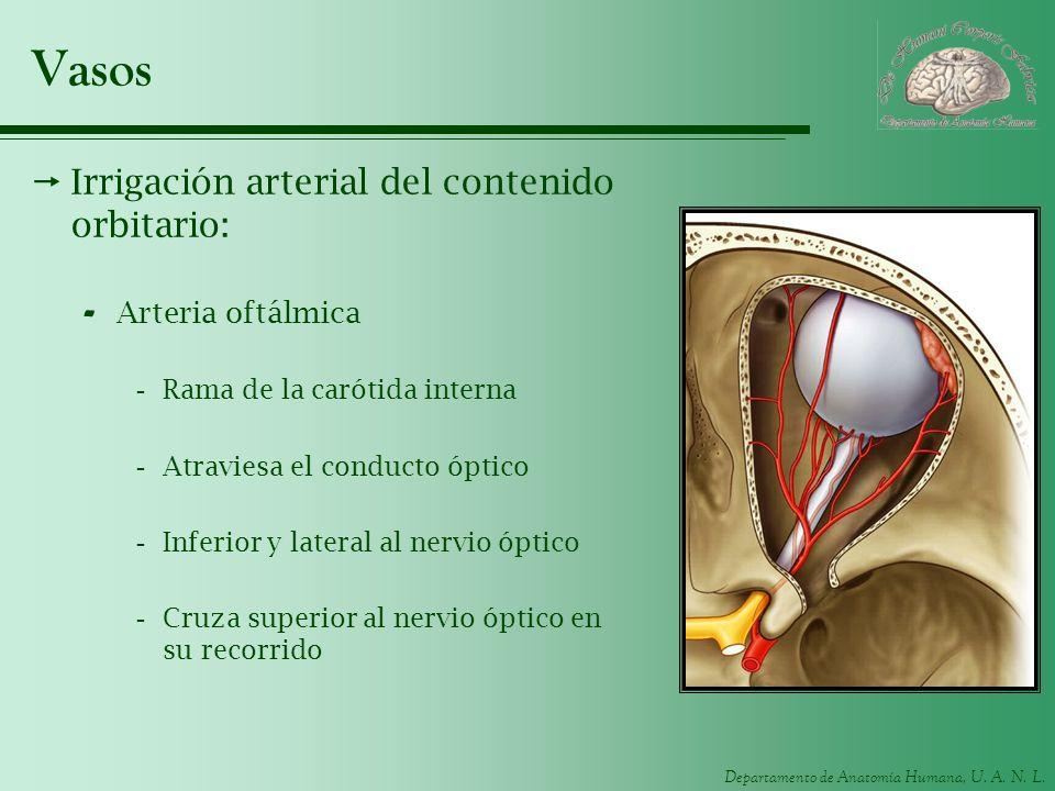 Departamento de Anatomía Humana, U. A. N. L. Vasos Irrigación arterial del contenido orbitario: - Arteria oftálmica -Rama de la carótida interna -Atra
