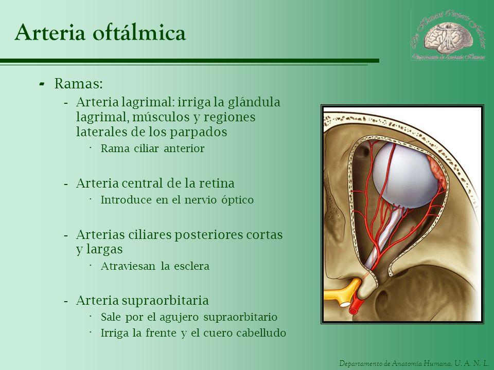 Departamento de Anatomía Humana, U. A. N. L. Arteria oftálmica - Ramas: -Arteria lagrimal: irriga la glándula lagrimal, músculos y regiones laterales