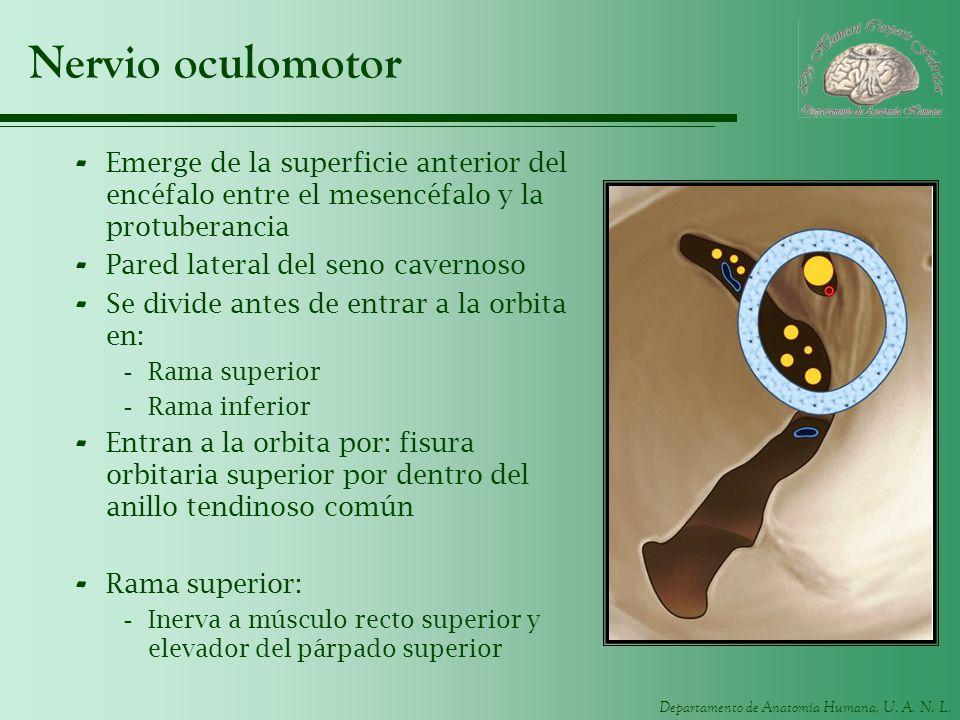 Departamento de Anatomía Humana, U. A. N. L. Nervio oculomotor - Emerge de la superficie anterior del encéfalo entre el mesencéfalo y la protuberancia