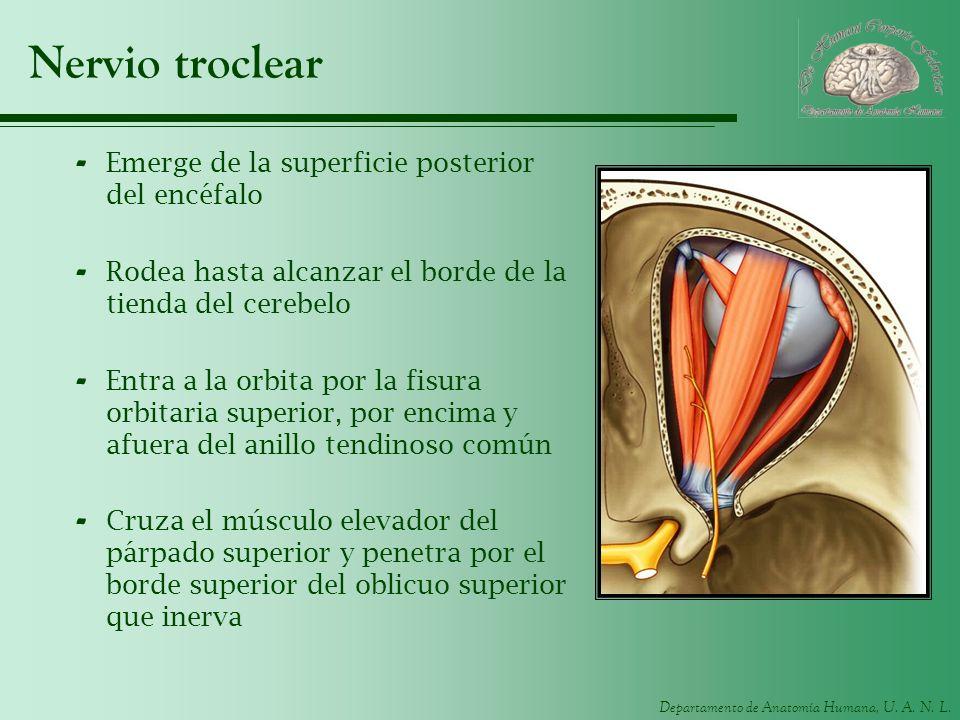Departamento de Anatomía Humana, U. A. N. L. Nervio troclear - Emerge de la superficie posterior del encéfalo - Rodea hasta alcanzar el borde de la ti
