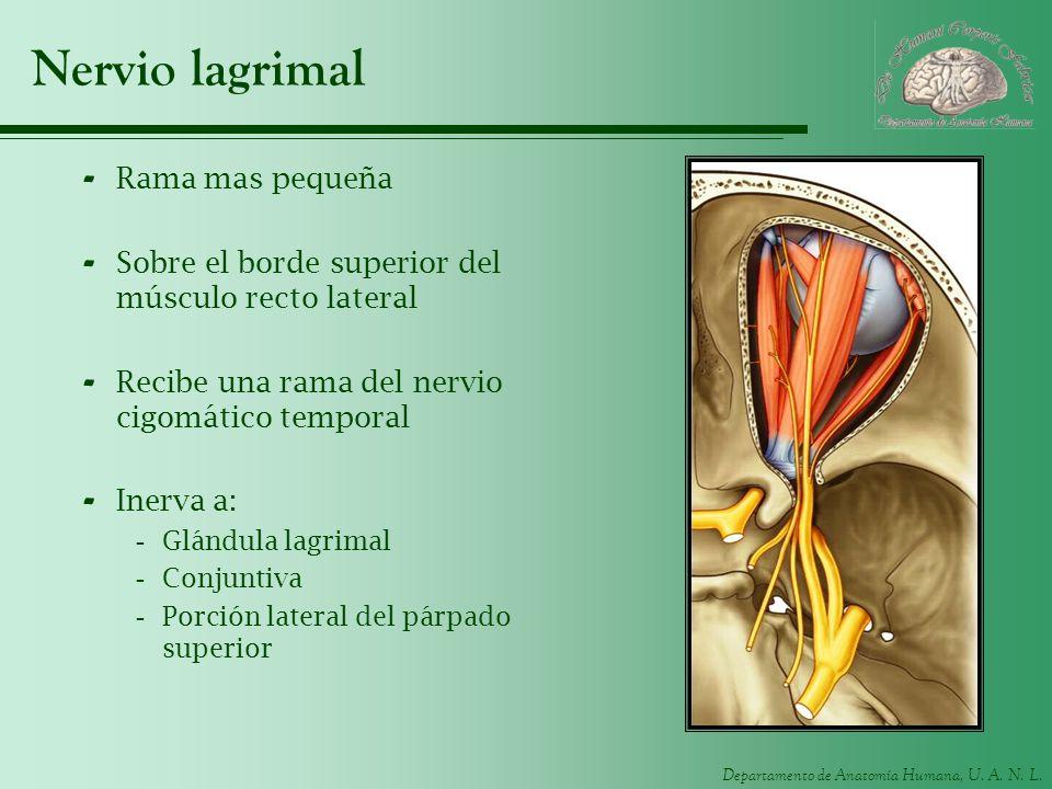Departamento de Anatomía Humana, U. A. N. L. Nervio lagrimal - Rama mas pequeña - Sobre el borde superior del músculo recto lateral - Recibe una rama
