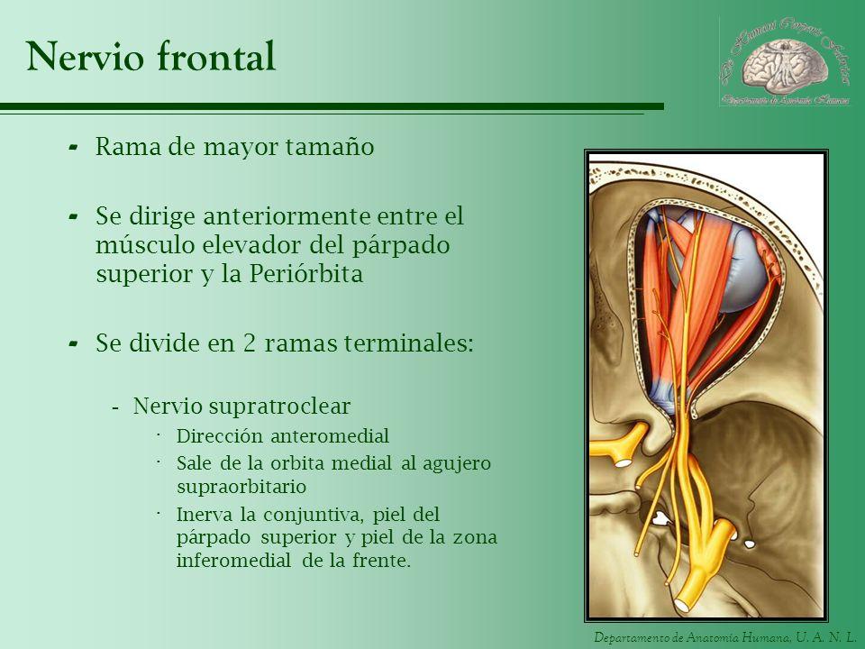 Departamento de Anatomía Humana, U. A. N. L. Nervio frontal - Rama de mayor tamaño - Se dirige anteriormente entre el músculo elevador del párpado sup