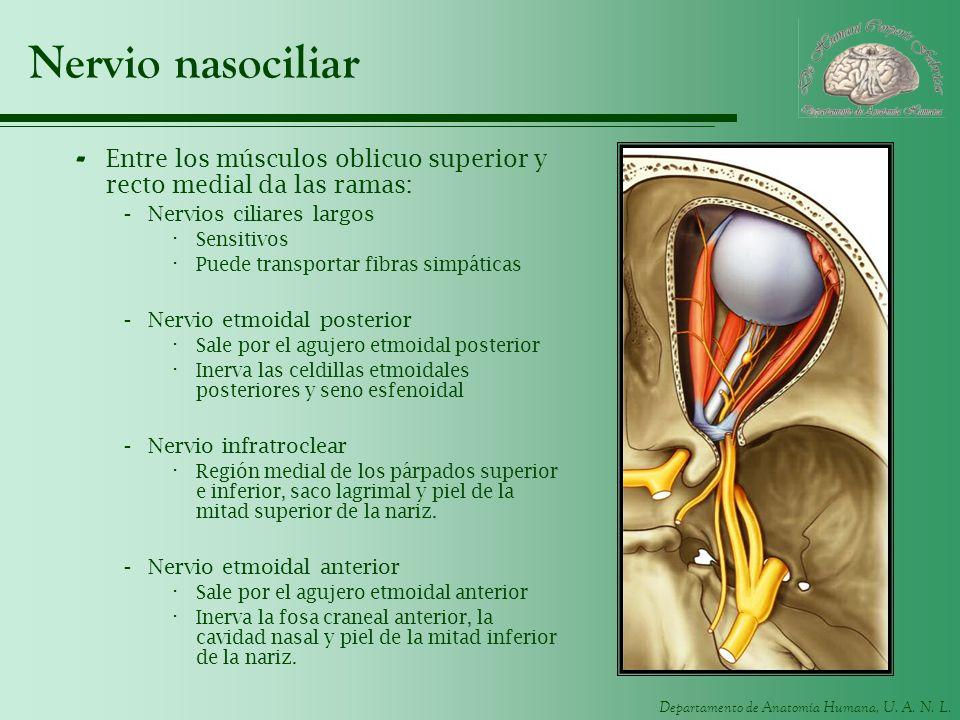 Departamento de Anatomía Humana, U. A. N. L. Nervio nasociliar - Entre los músculos oblicuo superior y recto medial da las ramas: -Nervios ciliares la