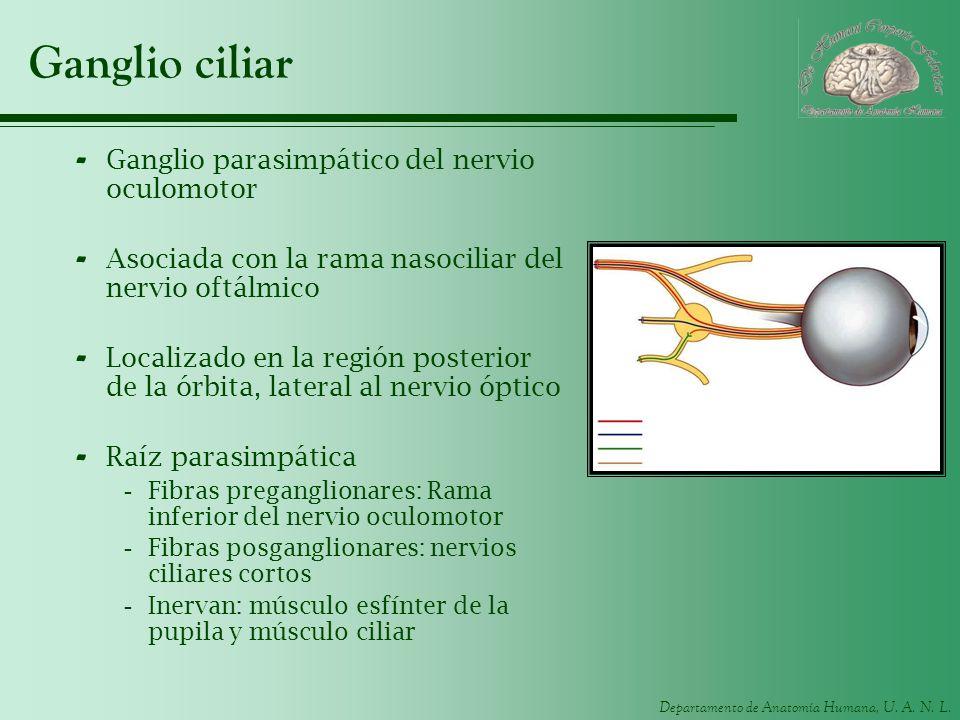 Departamento de Anatomía Humana, U. A. N. L. Ganglio ciliar - Ganglio parasimpático del nervio oculomotor - Asociada con la rama nasociliar del nervio