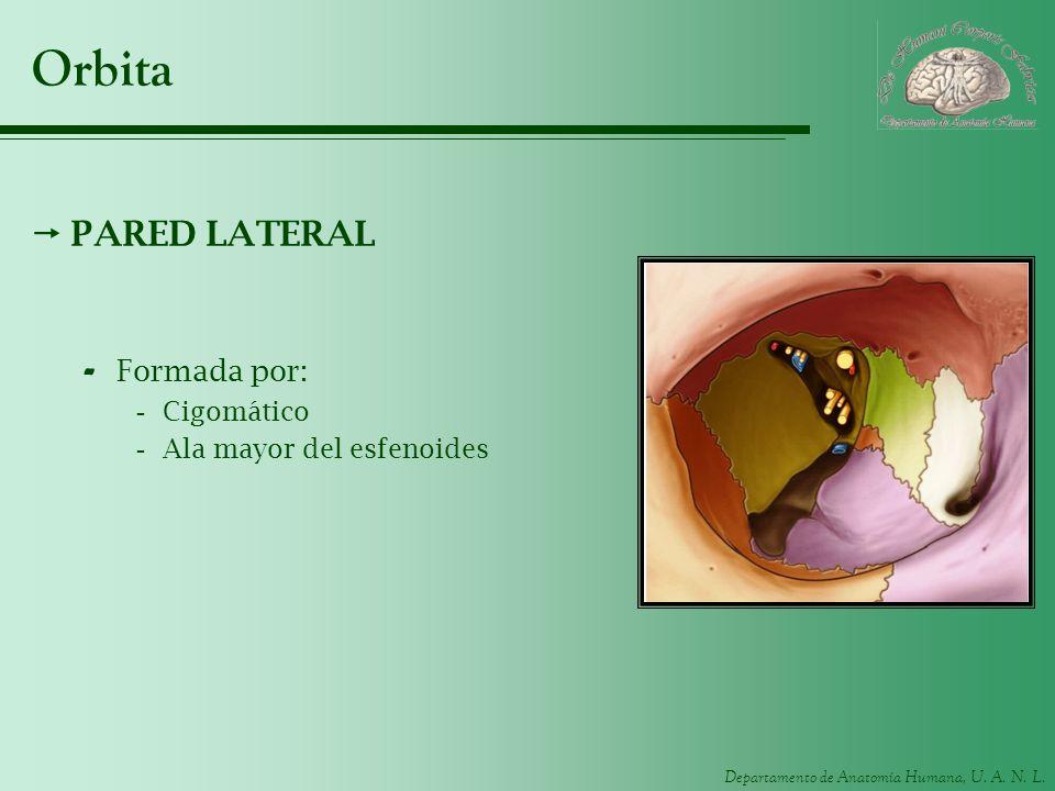 Departamento de Anatomía Humana, U. A. N. L. Orbita PARED LATERAL - Formada por: -Cigomático -Ala mayor del esfenoides