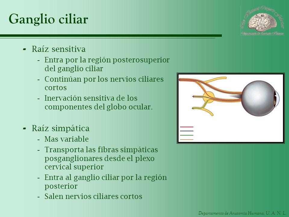 Departamento de Anatomía Humana, U. A. N. L. Ganglio ciliar - Raíz sensitiva -Entra por la región posterosuperior del ganglio ciliar -Continúan por lo