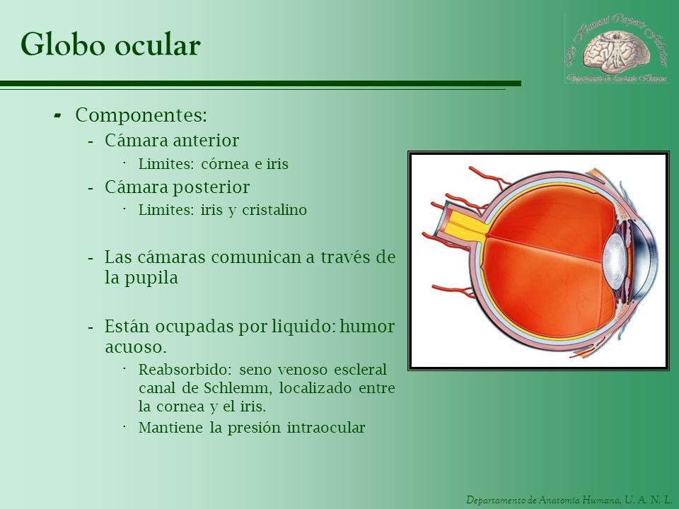 Departamento de Anatomía Humana, U. A. N. L. Globo ocular - Componentes: -Cámara anterior · Limites: córnea e iris -Cámara posterior · Limites: iris y