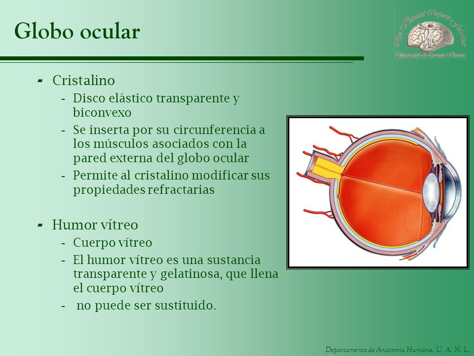 Departamento de Anatomía Humana, U. A. N. L. Globo ocular - Cristalino -Disco elástico transparente y biconvexo -Se inserta por su circunferencia a lo