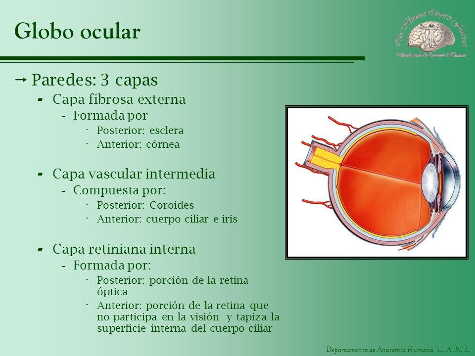 Departamento de Anatomía Humana, U. A. N. L. Globo ocular Paredes: 3 capas - Capa fibrosa externa -Formada por · Posterior: esclera · Anterior: córnea