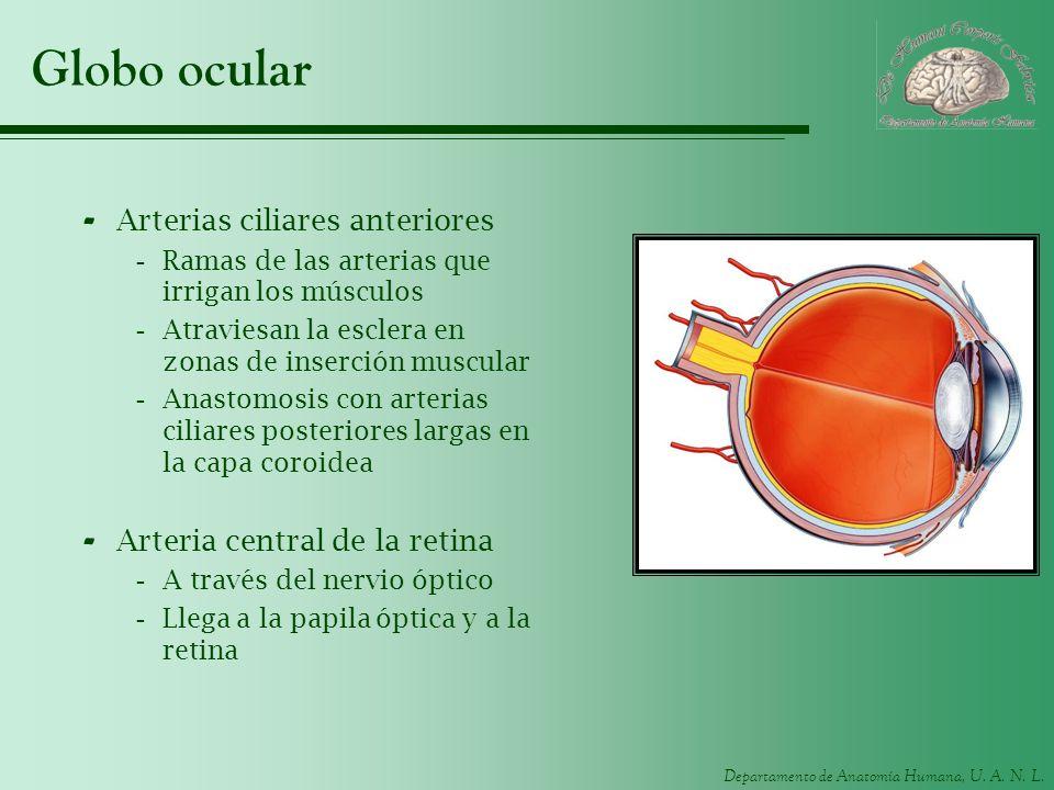 Departamento de Anatomía Humana, U. A. N. L. Globo ocular - Arterias ciliares anteriores -Ramas de las arterias que irrigan los músculos -Atraviesan l
