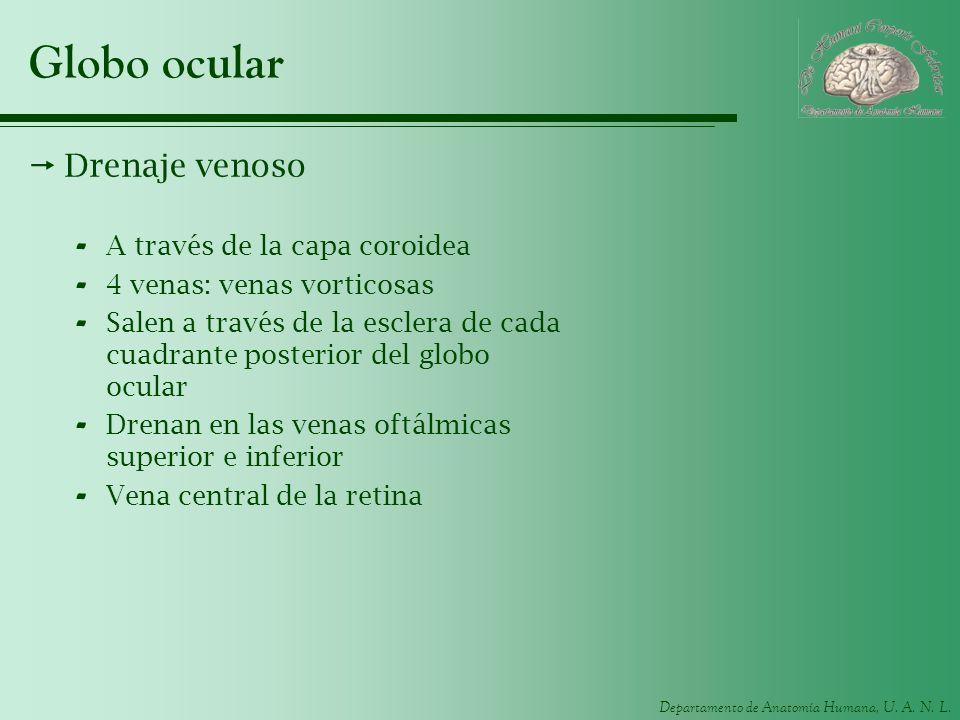 Departamento de Anatomía Humana, U. A. N. L. Globo ocular Drenaje venoso - A través de la capa coroidea - 4 venas: venas vorticosas - Salen a través d