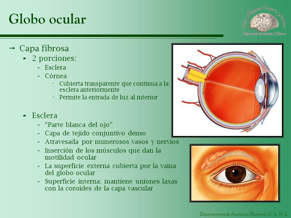Departamento de Anatomía Humana, U. A. N. L. Globo ocular Capa fibrosa - 2 porciones: -Esclera -Córnea · Cubierta transparente que continua a la escle