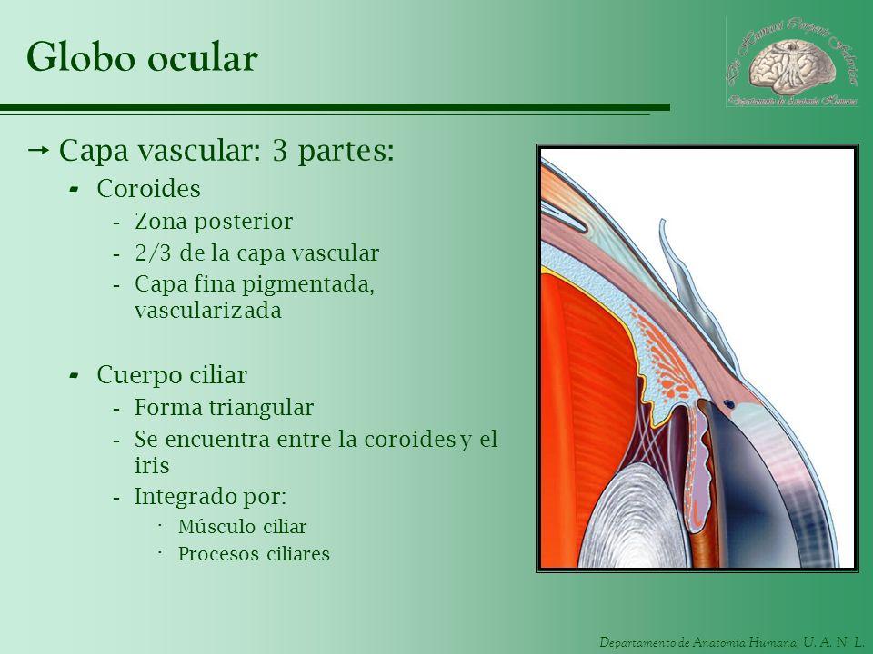 Departamento de Anatomía Humana, U. A. N. L. Globo ocular Capa vascular: 3 partes: - Coroides -Zona posterior -2/3 de la capa vascular -Capa fina pigm