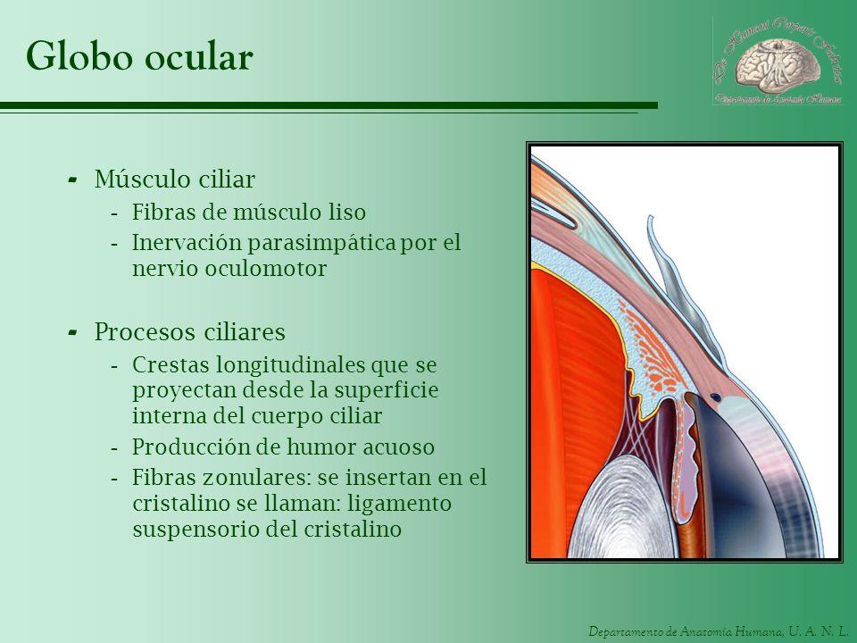 Departamento de Anatomía Humana, U. A. N. L. Globo ocular - Músculo ciliar -Fibras de músculo liso -Inervación parasimpática por el nervio oculomotor