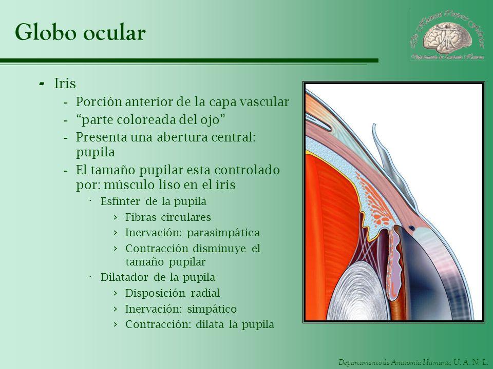 Departamento de Anatomía Humana, U. A. N. L. Globo ocular - Iris -Porción anterior de la capa vascular -parte coloreada del ojo -Presenta una abertura