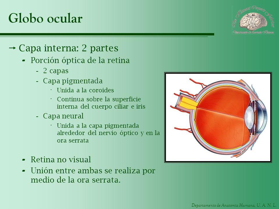 Departamento de Anatomía Humana, U. A. N. L. Globo ocular Capa interna: 2 partes - Porción óptica de la retina -2 capas -Capa pigmentada · Unida a la