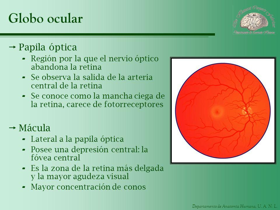 Departamento de Anatomía Humana, U. A. N. L. Globo ocular Papila óptica - Región por la que el nervio óptico abandona la retina - Se observa la salida