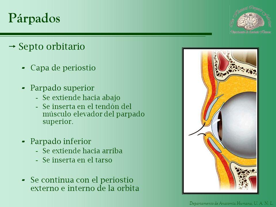 Departamento de Anatomía Humana, U. A. N. L. Párpados Septo orbitario - Capa de periostio - Parpado superior -Se extiende hacia abajo -Se inserta en e