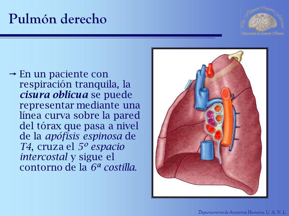 Departamento de Anatomía Humana, U. A. N. L. Pulmón derecho En un paciente con respiración tranquila, la cisura oblicua se puede representar mediante