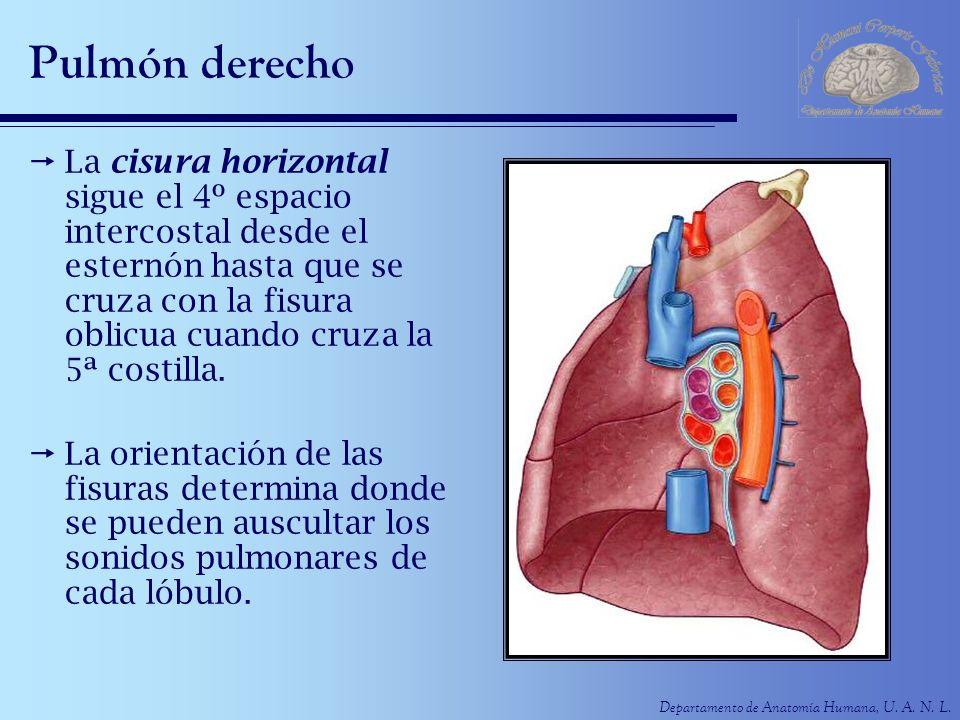 Departamento de Anatomía Humana, U. A. N. L. Pulmón derecho La cisura horizontal sigue el 4º espacio intercostal desde el esternón hasta que se cruza