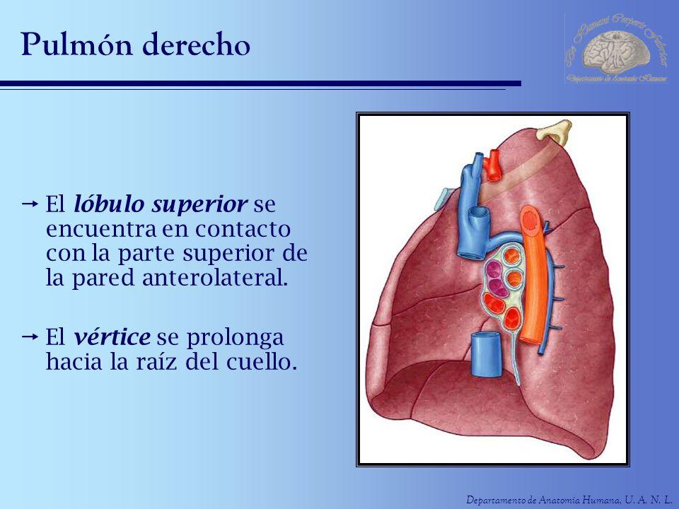 Departamento de Anatomía Humana, U. A. N. L. Pulmón derecho El lóbulo superior se encuentra en contacto con la parte superior de la pared anterolatera